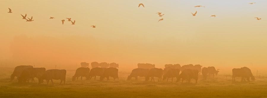 herfstfotografie-nieuwsbrief-fotoschool-keistad. Koeien in mistig weiland