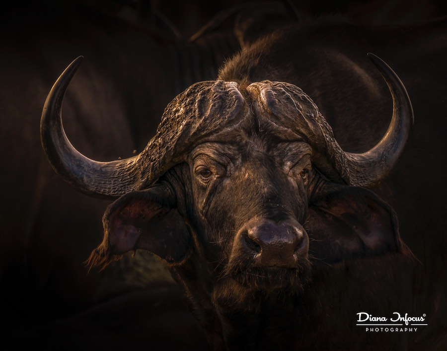diana-beekvelt-kaapse-buffel-in-afrikaans-licht-buffalo-iv