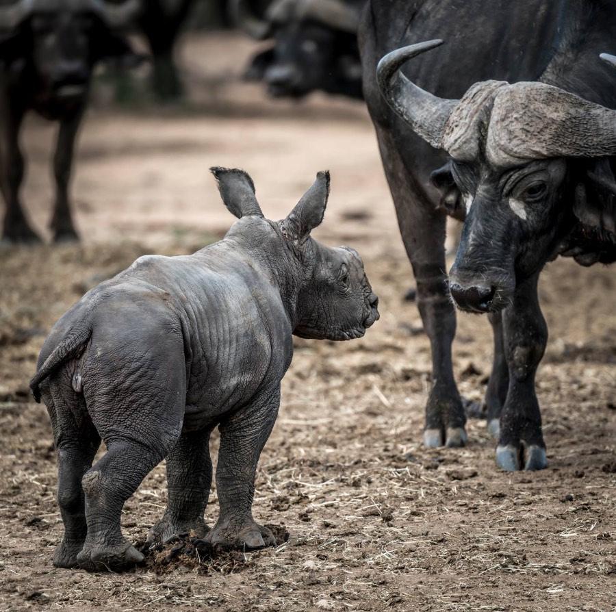 diana-beekvelt-neushoorn-baby-olivia-daagt-een-kaapse-buffel-uit-wanna-play
